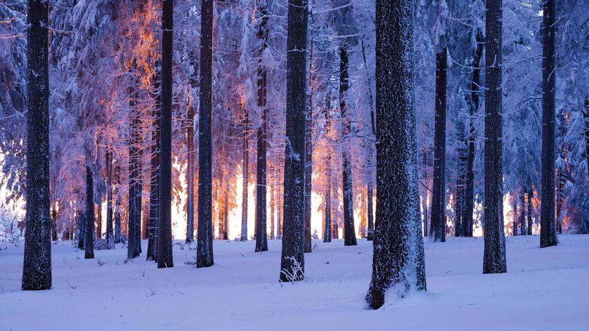 日落时分被雪覆盖的挪威云杉林,德国图林根