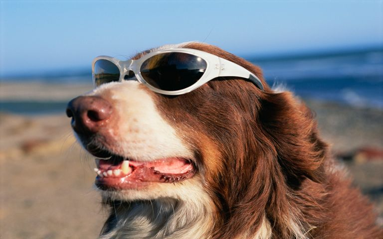 Dogs Wearing Sunglasses for The Summer