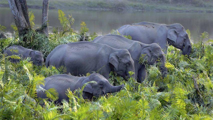 卡齐兰加国家公园的亚洲象群,印度阿萨姆邦