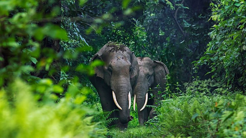Asian elephants in West Bengal, India