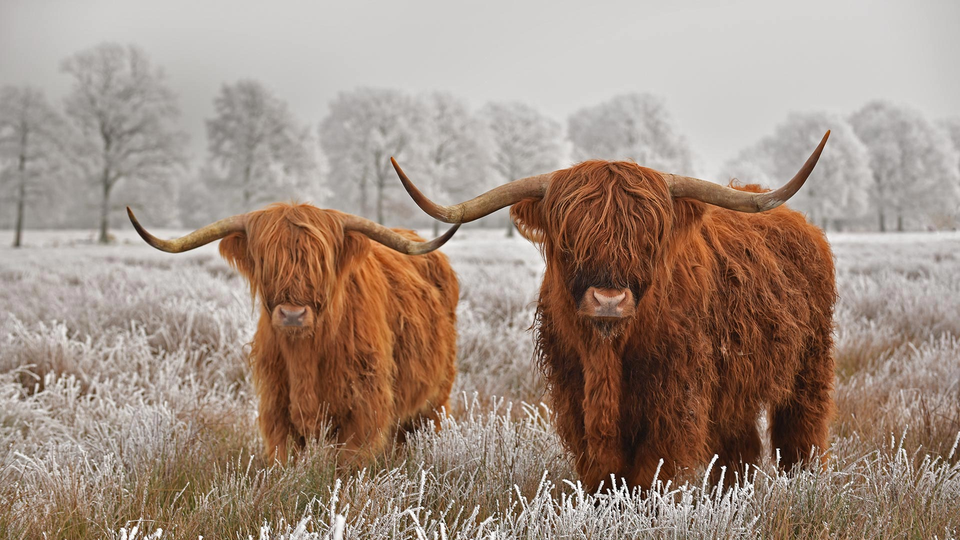 Highland cattle in Drenthe province in the Netherlands