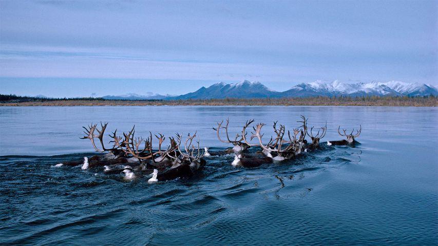 Caribou swimming across Alaska's Kobuk River during fall migration