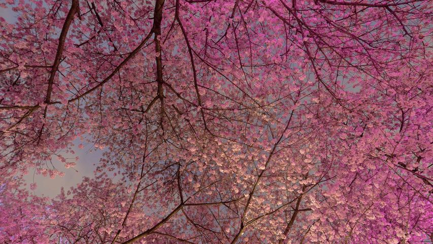 Cherry Blossom Trees In Vancouver Bing Gallery