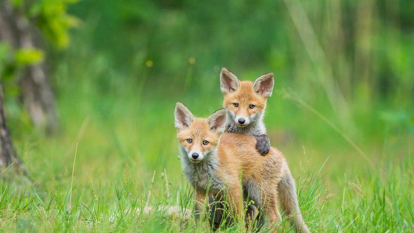 Zwei junge Rotfüchse beim Spielen, Deutschland