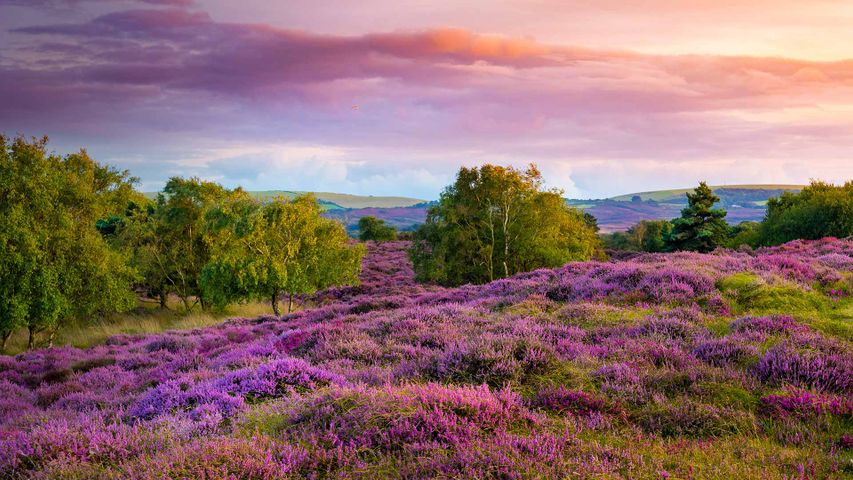 Purple and pink heather on heathland near Studland, Dorset