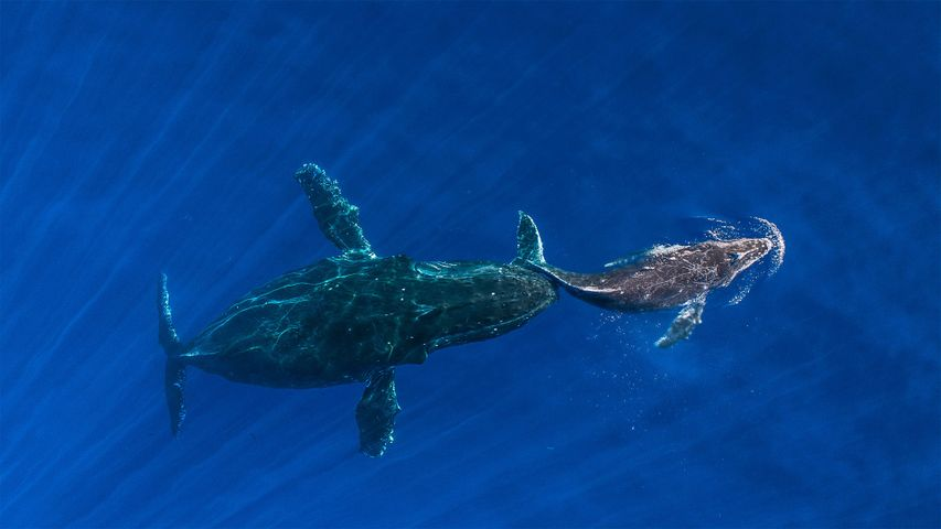 Humpback whale mother pushes her sleeping calf to surface, Maui, Hawaii, USA
