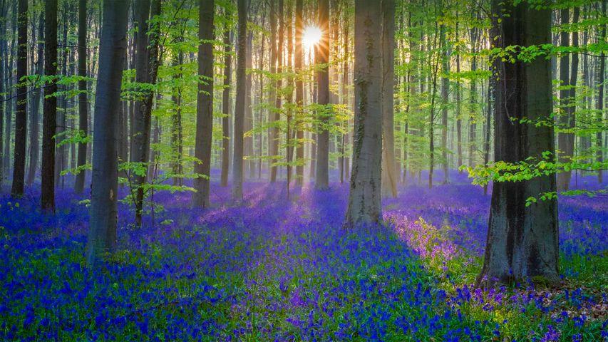 覆盖了Hallerbos森林地面的蓝铃花,比利时佛兰德