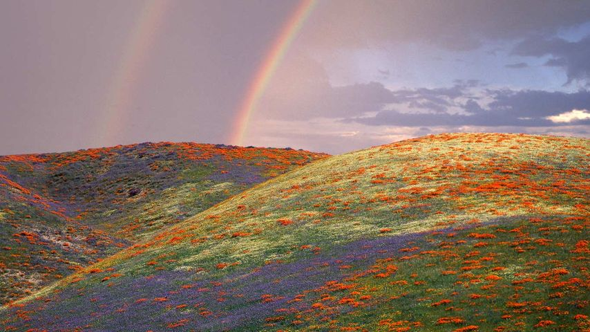 Poppies and lupine in Los Angeles County, California, USA