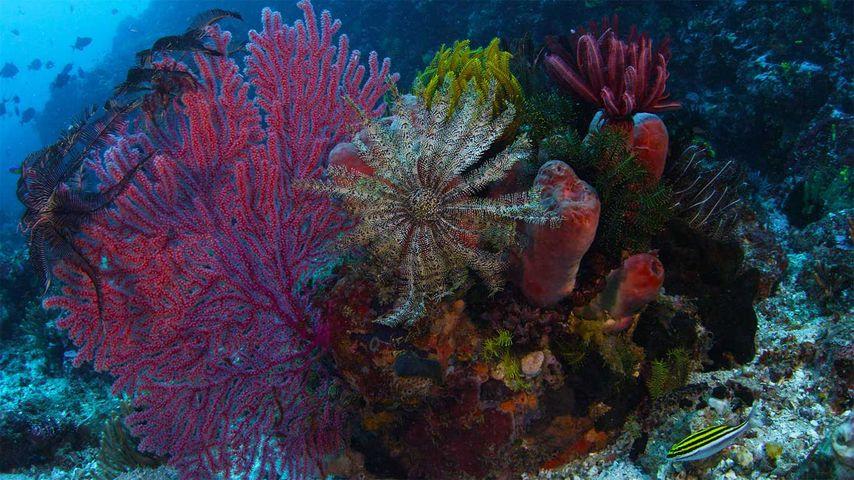 「サンゴとウミシダ」インドネシア, コモド国立公園