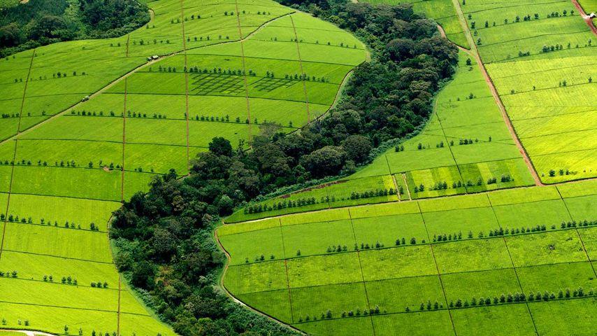 凯里乔县的茶叶种植园,肯尼亚