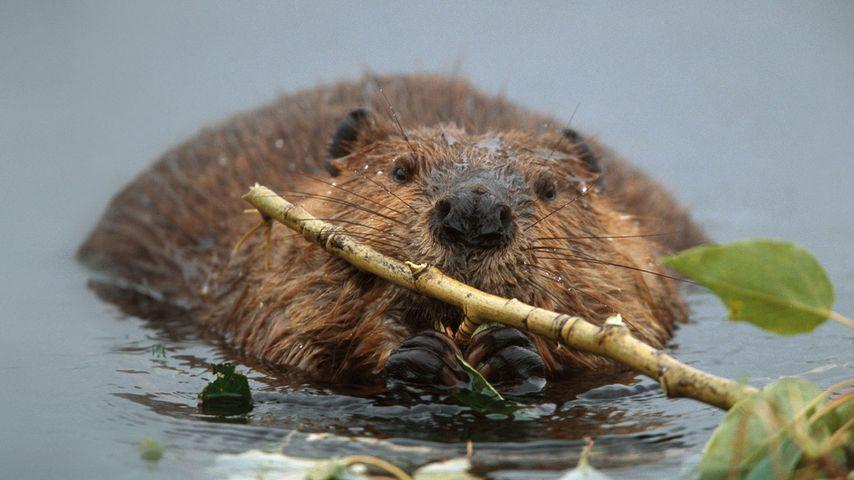 North American beaver in Denali National Park and Preserve, Alaska