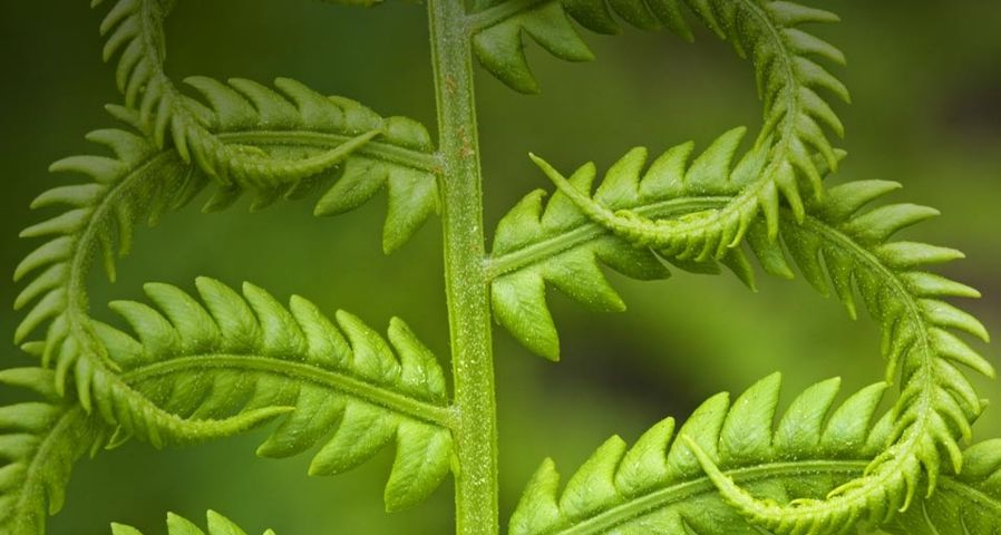 Cinnamon fern, detail of emerging fronds, Lively, Ontario, Canada – Don Johnston/age fotostock ©