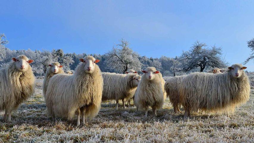 Schafherde in der Nähe von Mespelbrunn im Spessart, Bayern, Deutschland