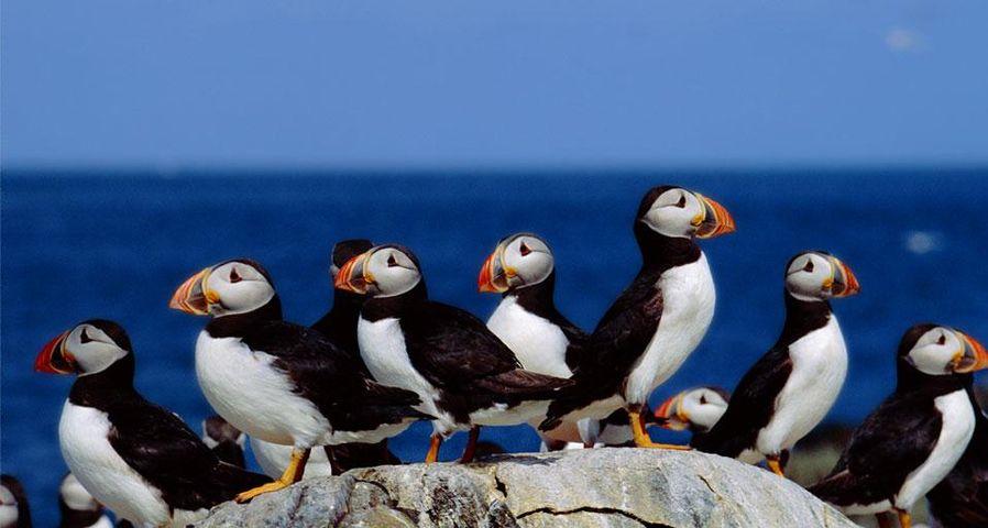 法恩群岛的岩石峭壁上,一群正在休憩的海鹦