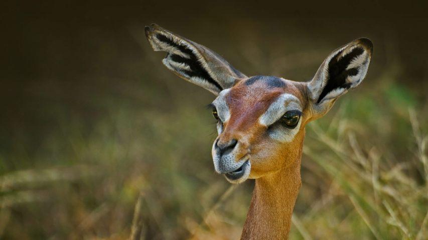 A gerenuk