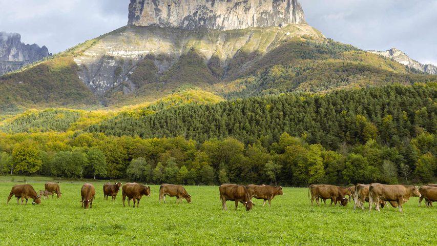 Des vaches devant le Mont Aiguille, Parc Naturel Régional du Vercors, Isère, France