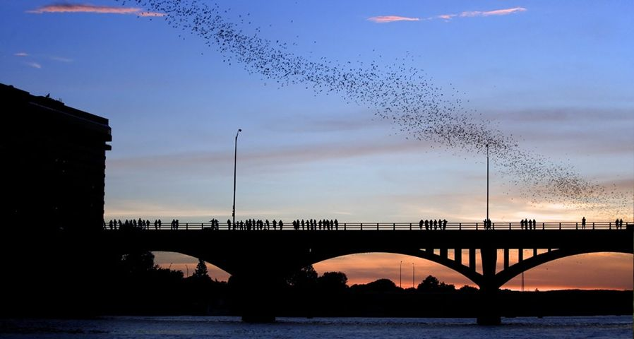 Mexican free-tailed bats in the sky above Austin, Texas