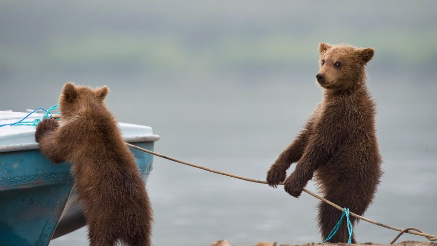 Bear cubs playing by a lake
