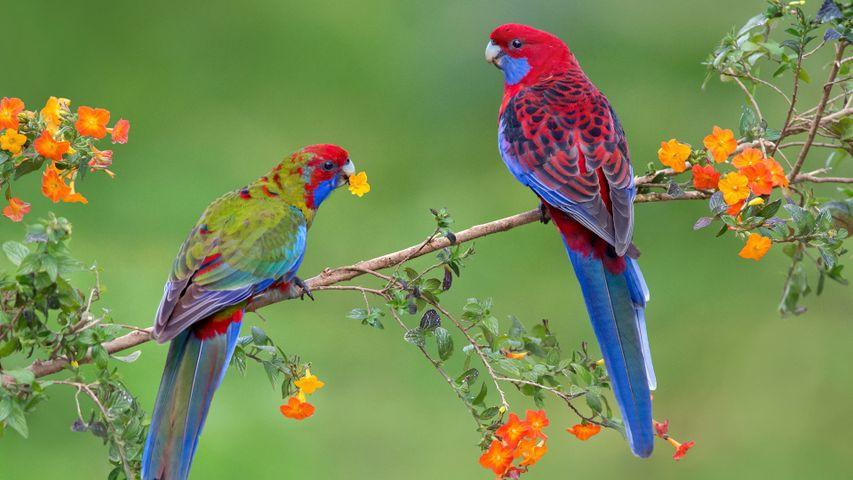 一对深红玫瑰鹦鹉幼鸟,维多利亚州
