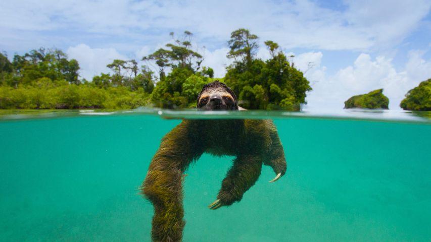 The pygmy three-toed sloth swimming near Isla Escudo de Veraguas, Panama
