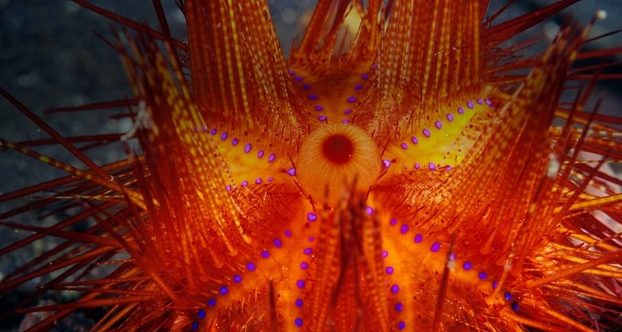 Fire Urchin – Stuart Westmorland/Corbis ©