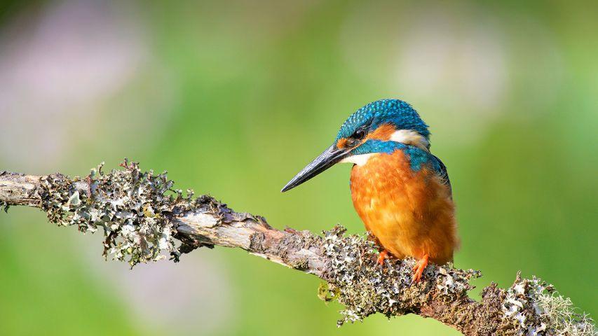 Kingfisher (Alcedo atthis) near Wychbold, Worcestershire