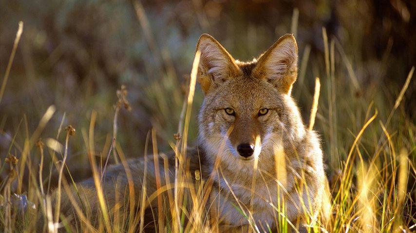 Kojote im Black Canyon, Gunnison-Nationalpark, Colorado, USA