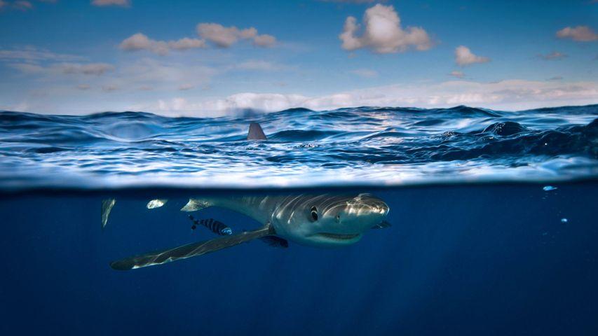 Blue shark near Cork, Ireland