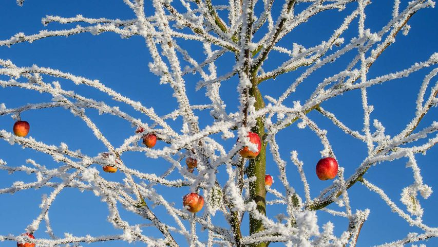 On Pie Day, an apple tree in winter