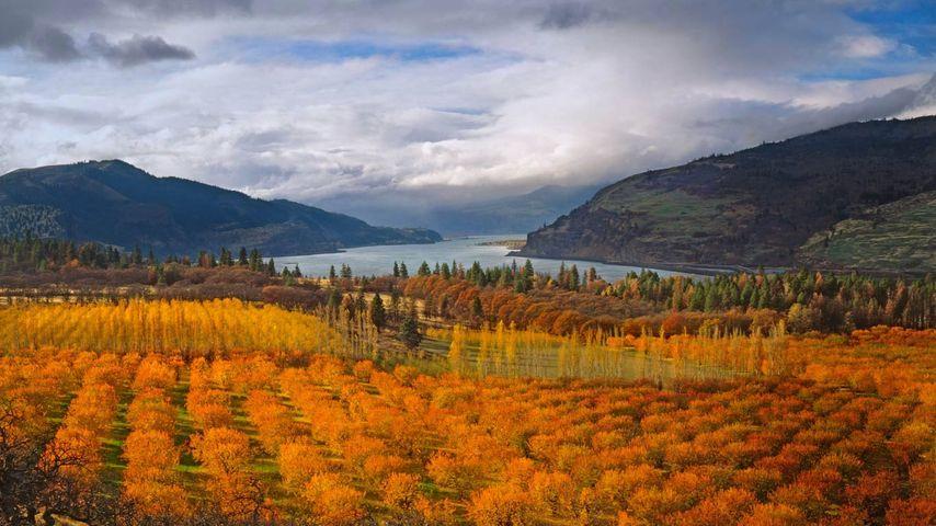 「サクランボ果樹園」アメリカ, オレゴン州