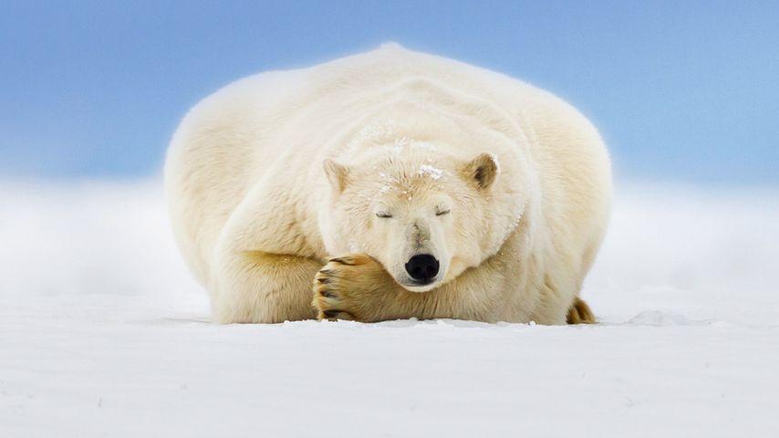 Polar bear on a barrier island in the Beaufort Sea, Arctic National Wildlife Refuge, Alaska