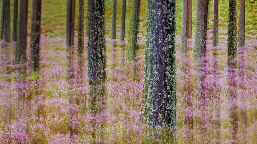 Kiefern und Besenheide, Schottisches Hochland, Cairngorms-Nationalpark, Schottland, Vereinigtes Königreich