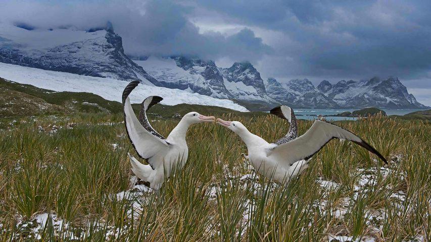 Wandering albatross pair, South Georgia Island