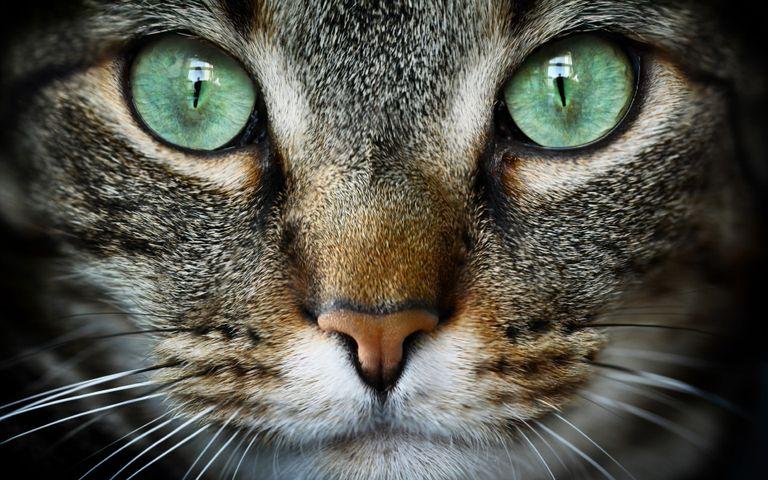 Cat Expressions Windows 10 Theme