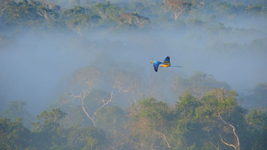 Blue-and-yellow macaws flying over the Amazon, Brazil