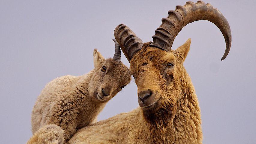 雄性高加索羱羊和它的幼崽