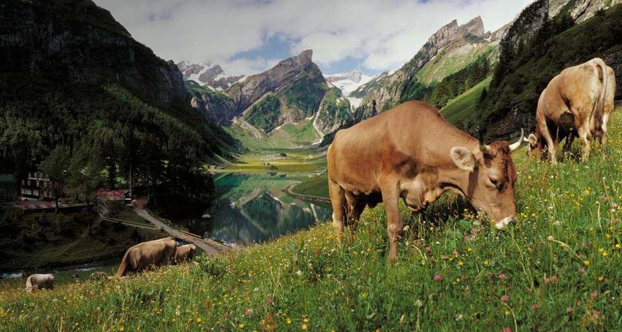 Cows grazing at lake Seealpsee, Switzerland - Sonderegger Christof/Agefotostock ©