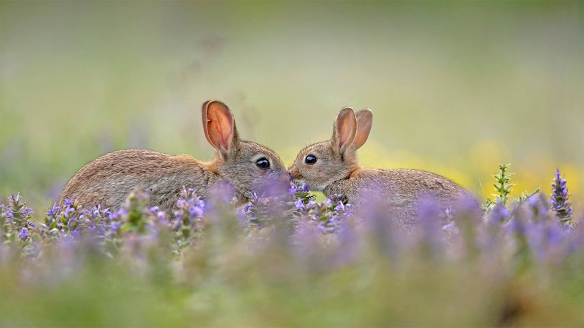 European rabbit kit greeting its parent, France