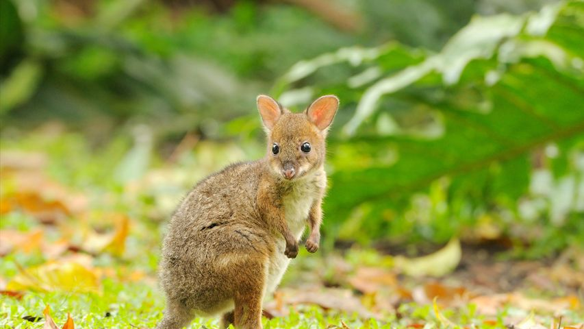 Red-legged Pademelon joey, Queensland, Australia