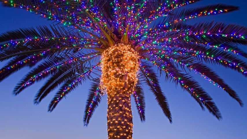 Christmas lights in a palm tree at a winery, Temecula Valley, California, USA