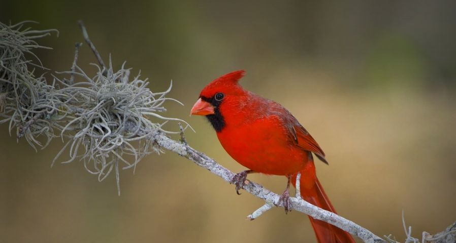 Northern Cardinal perched on a branch in the Rio Grande Valley of Texas