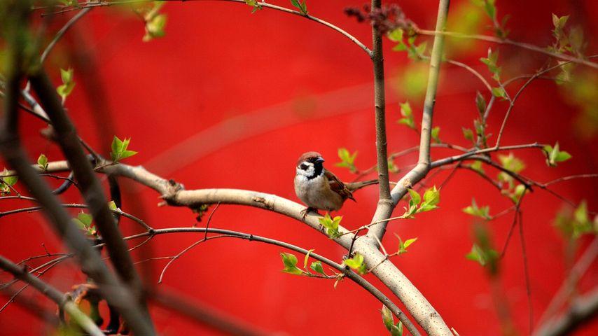 2009年4月3日北京,朱红墙旁的鸟儿正在享受美好的天气