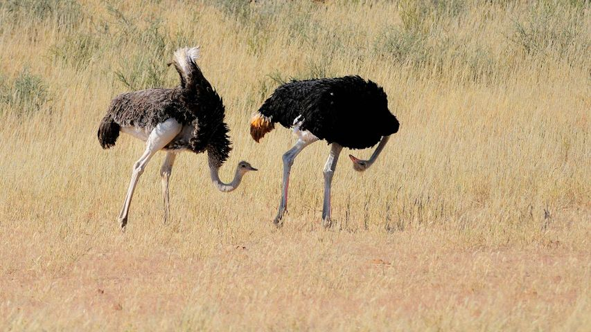 A pair of ostriches courting in Kgalagadi Transfrontier Park, South Africa