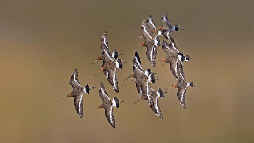 Black-tailed godwits, Netherlands