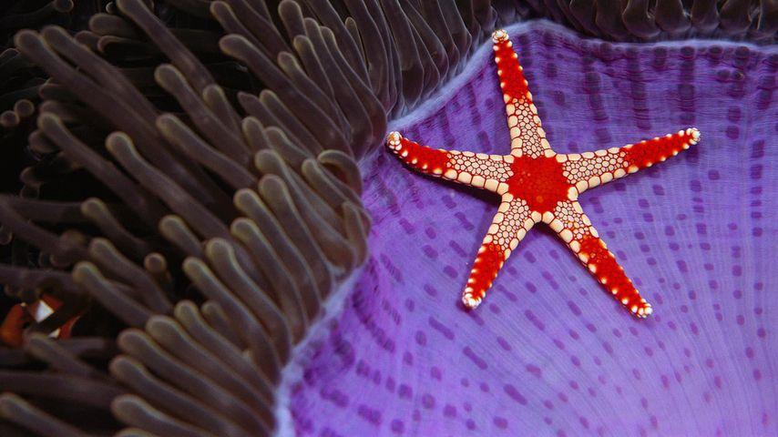 Perl-Seestern auf einer Prachtanemone, Insel Pulau Sipadan, Borneo