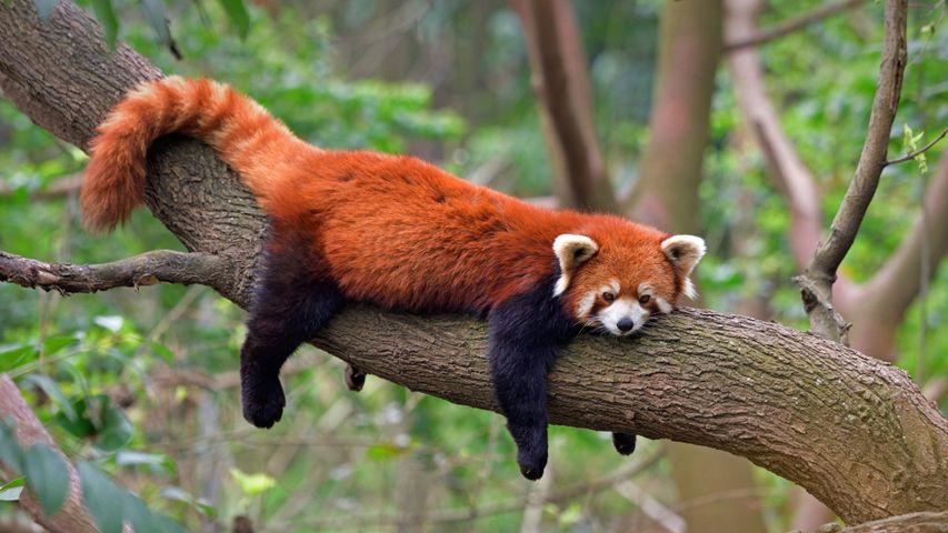 Red panda at the Chengdu Panda Base in Sichuan province, China