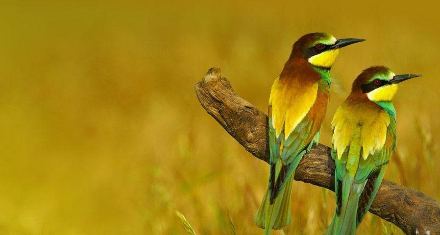 European bee-eaters in Málaga province, Andalusia, Spain