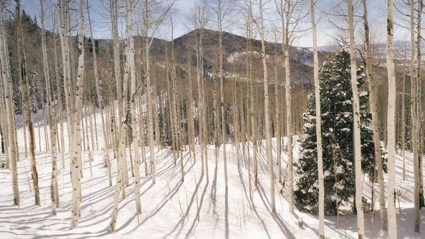Aspen forest in the Wasatch Mountains, Utah