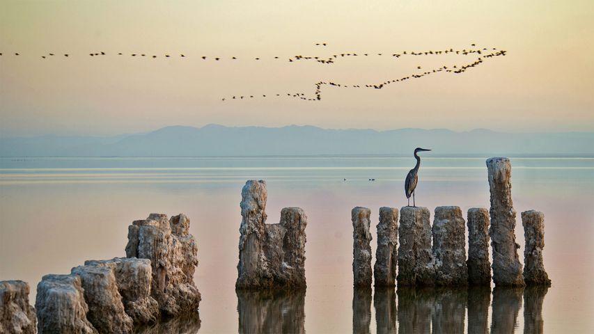 Una garza observando una bandada de aves en el lago Saltón, California