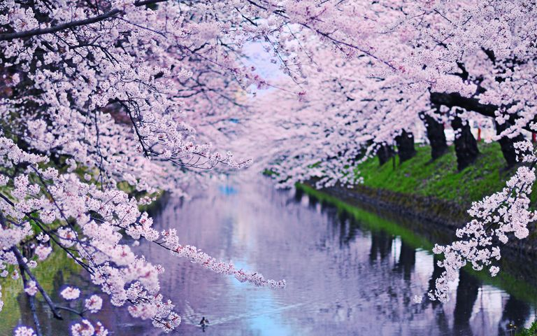 water lake flower sakura tree cherry blossom spring blossom